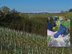 Piedmont Vineyard
